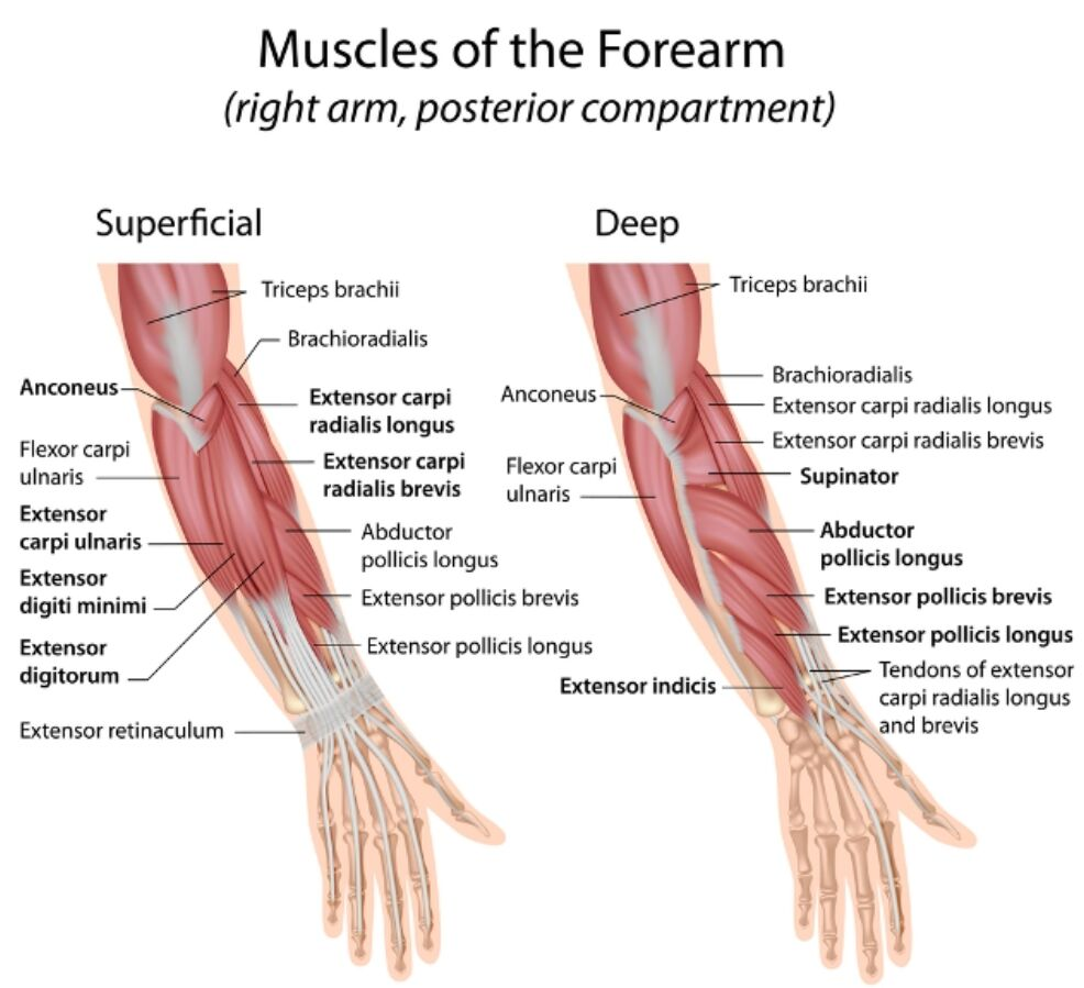 Muscles Of The Forearm (right Arm Posterior Compartment) Anatomy Superficial And Deep Anatomy