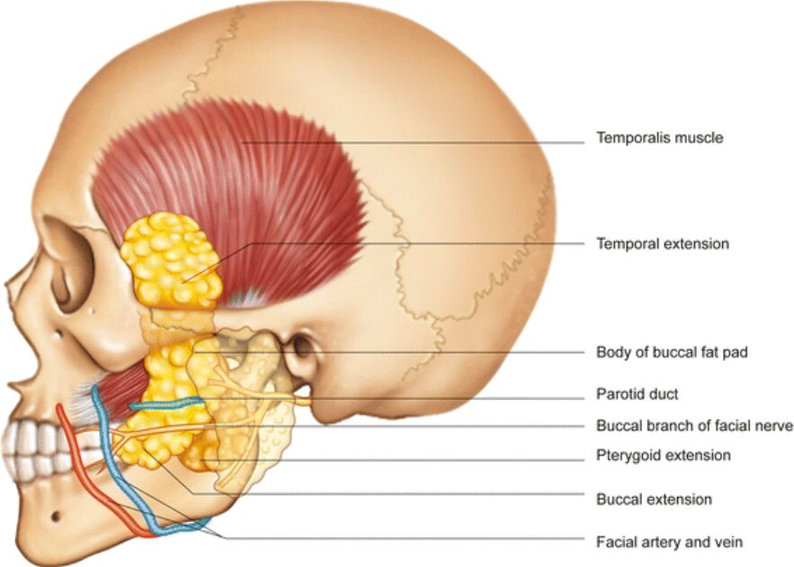 Lateral View Of Buccal Fat Anatomy