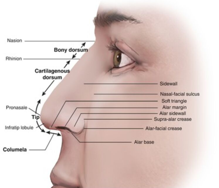 Nose Anatomical Structure External View Terminology