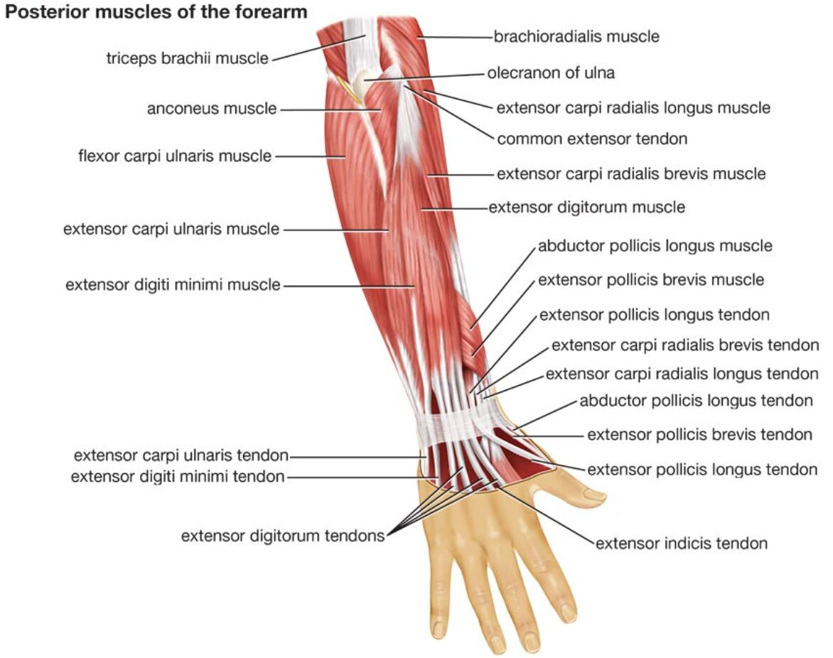 Posterior Muscle Of The Forearm Anatomy In Detail