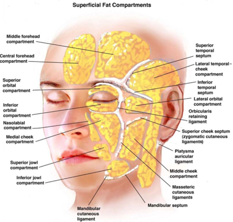Superficial Fat Compartments Anatomical View
