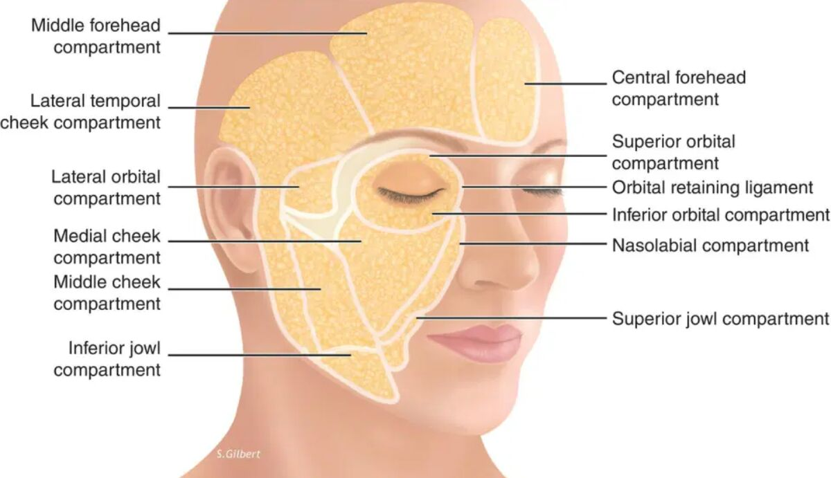 The Human Face Compartments Anatomical View