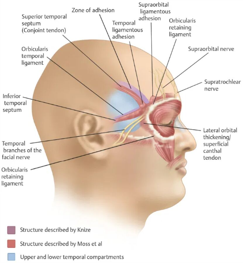 The Human Face Muscles And Nerves Anatomy Lateral View