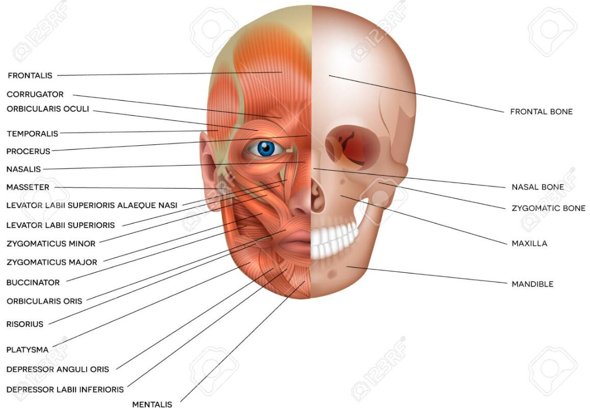 The Human Head Muscle And Skull Anatomy Gross View