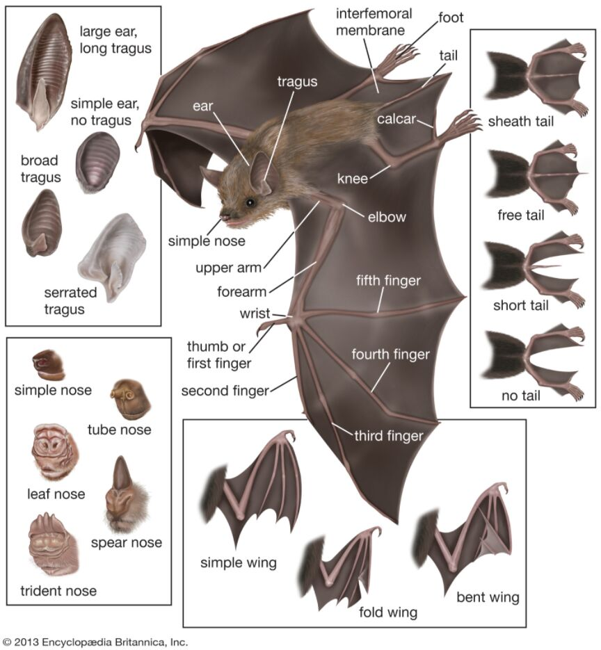 Bat Anatomy In Detail