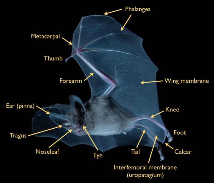 Bat External Anatomical Land Mark