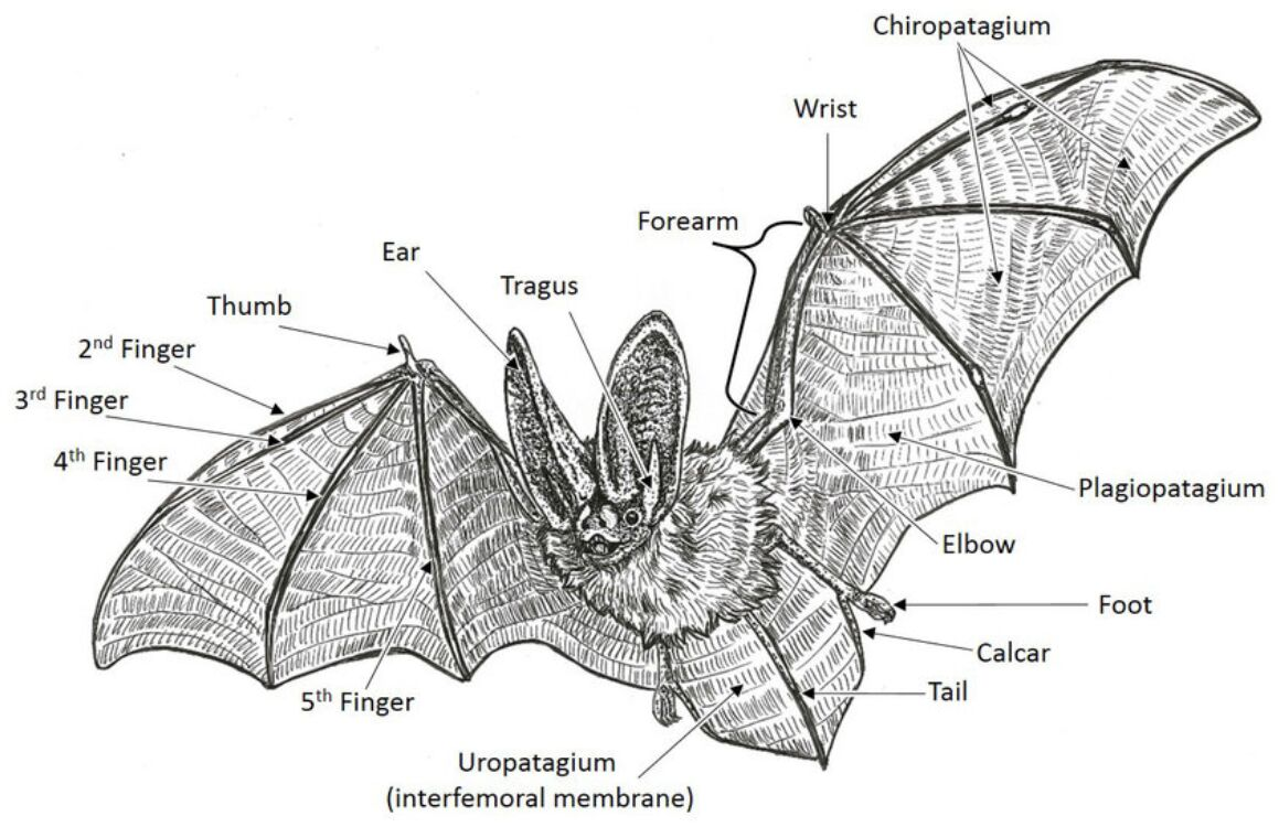 Bat External Anatomy