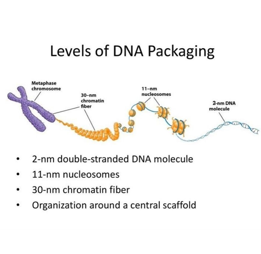 Levels Of Dna Packaging Diagram